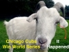 Chicago Cubs Win Baseball World Series, Ending 108 Years  of Waiting